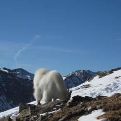 Mountain Goat, Quandary Peak (14,264 ft)